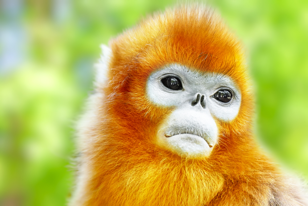 Golden Snub-Nosed Monkeys of Central America